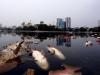 'Hàng tấn cá nổi trắng hồ Hoàng Cầu là chết ngạt vì thiếu ôxy'