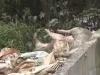 Công ty Đài Loan vứt hàng trăm xác heo thối ra sông Sài Gòn