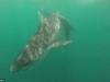 Cận cảnh cá mập hổ và cá mập đầu búa đại chiến