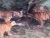 Hãi hùng cảnh 7 con hổ xé xác ăn thịt đồng loại