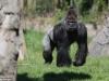 Khỉ đột nặng 200kg hung dữ đập vỡ kính trốn khỏi vườn thú như phim Công viên kỷ Jura