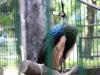 Sư thầy miền Tây nhận là chủ chim khổng tước quý hiếm ở Sài Gòn