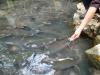 Cận cảnh hàng nghìn 'cá thần' bơi dày đặc ở suối Ngọc