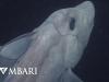 Cá mập ma lần đầu được phát hiện ở độ sâu 2.000m