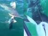 Video: Cá mập ngoạm đứt đôi mình đồng loại