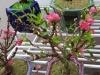 Đào 'khủng' hết thời, dân Hà thành chạy theo đào bonsai 2 gang tay