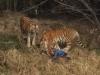 Nguyên nhân vụ người đàn ông bị ba con hổ vồ chết tại Trung Quốc