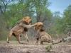 Sư tử đực đại chiến kinh hoàng tranh giành bạn tình