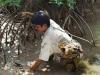Bắt cua bằng que sắt trong rừng ngập mặn thu tiền triệu mỗi ngày