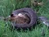 Trăn đá Châu Phi nuốt chửng linh cẩu khủng gần 70kg