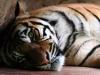 Hổ quý Ấn Độ chết thảm dưới gầm máy xúc