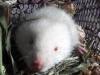 Người dân bắt được con dúi trắng hiếm thấy ở Nghệ An