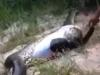 Video: Mổ bụng trăn khổng lồ, phát hiện con trăn khác bên trong