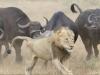 Video: Sư tử bỏ chạy thoát thân vì bị đàn trâu uy hiếp