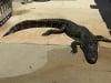 Video: Bé gái 10 tuổi tự cạy miệng cá sấu 'khủng 3m' để thoát thân