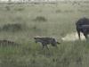Video: Trâu rừng hiệp sức giết tận bầy linh cẩu định xé xác nghé con