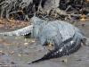 Video: Cá sấu nước mặn xơi tái chuột túi trong nháy mắt