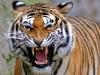 Người dân tình nguyện vào rừng cho hổ vồ để trục lợi ở Ấn Độ