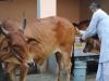 Kem đánh răng, sữa rửa mặt chế từ chất thải của bò, bạn có dám dùng thử?