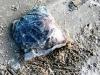 Chưa tìm được nguồn gốc 5 tạ thịt thối dạt vào bờ biển Thừa Thiên-Huế