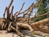 Vụ 3 cây cổ thụ 'khủng' bị bắt giữ: Thủ tục hoàn thành chóng vánh