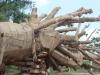 Vụ cây 'quái thú' bị tạm giữ: Người dân nói các cây như vậy toàn cho không