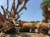 Tình tiết gây 'sốc' sau khi xác định nguồn gốc cây 'quái thú' bị bắt ở Huế