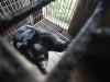 Giải cứu hai cá thể gấu nguy cấp quý hiếm nặng hơn 150kg bị nuôi nhốt 15 năm