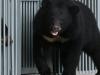 Trung Quốc: Người phụ nữ mua 'chó ngao Tây Tạng' về chăm sóc 2 năm mới biết mình nuôi nhầm gấu