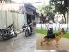 Chủ chó becgie cắn chết người ở Hà Nội có thể bị phạt tù đến 5 năm?