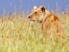 BBC gây xúc động mạnh với khoảnh khắc từ biệt đứa con bị trúng độc của sư tử cái