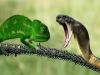 Video: Tắc kè hoa quyết đấu đến hơi thở cuối cùng với rắn Mamba kịch độc
