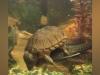 Cá phát cáu khi bị rùa cưỡi trên lưng dai như đỉa