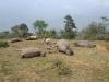 Lào Cai: Đàn trâu 6 con bị sét đánh chết, thiệt hại hơn 150 triệu đồng