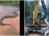 Trăn Nam Mỹ kích thước 'khủng' chưa từng thấy thong thả bơi trên sông Brazil