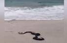 Hãi hùng cảnh rắn độc ăn thịt thằn lằn khổng lồ