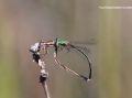 Chuồn chuồn đực chết cứng trong khối hổ phách vì giành bạn tình