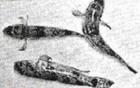 Liên hoan cuối năm, tử vong vì ăn thịt cá nóc 6