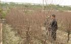 Rét hại, người trồng đào Tết