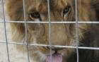 Ảnh chụp khoảnh khắc sư tử chuẩn bị lao vào xe cắn chết nữ du khách 3