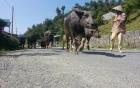 Chuyện lạ: Dắt bò ra đường phải nộp tiền