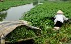 Kinh hãi rau muống tưới bằng xác động vật bán ở Hà Nội