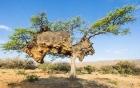 Phát hiện tổ chim khổng lồ với 500 con trên cây