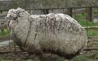 """Chú cừu 6 tuổi có bộ lông """"khủng"""" nhất thế giới"""