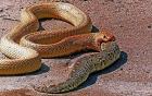 Xem hổ mang cực độc nuốt chửng rắn hổ mang chúa
