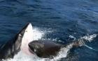 Video: Cá mập trắng cắn ngập răng xé xác đồng loại