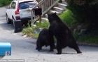 Gấu đen khổng lồ đánh nhau giữa đường phố Mỹ