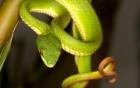 856 trường hợp bị rắn lục đuôi đỏ cắn ở Đồng bằng sông Cửu Long 6