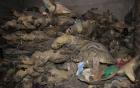 Phát hiện hàng nghìn cá thể rùa biển quý hiểm bị sấy khô