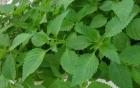 Những tác dụng chữa bệnh của lá tía tô